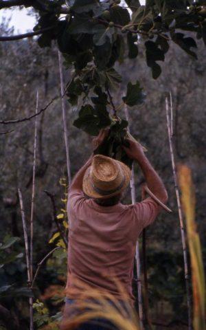 fichi_uomo che raccoglie dall'albero_480x768