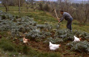 lavoro_zappatura con galline_1024x655