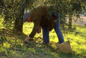 olivo_raccolta delle ulive a terra_1024x693