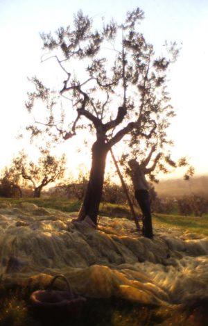 olivo_raccolta_albero con rete sera controluce 2_491x768