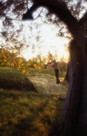 olivo_raccolta_albero primopiano con rete sera controluce_491x768