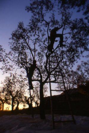 olivo_raccolta_albero sera controluce_518x768