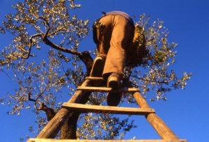 olivo_raccolta_contadino che sale su albero_1024x695