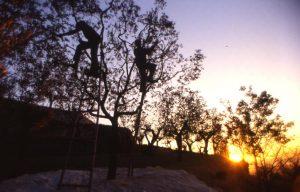 olivo_sull'albero brucatura fino a sera_1024x655