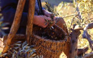 olivo_sull'albero con bruscola primo piano_1024x642