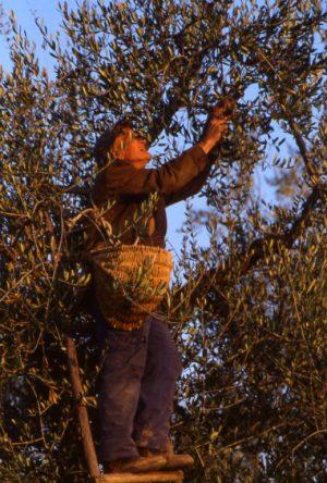 olivo_sull'albero con cesto_519x768