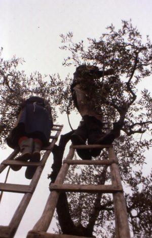 olivo_sull'albero con due scale_491x768