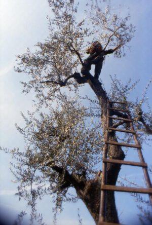 olivo_sull'albero_519x768