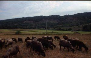 pecore_greggie al pascolo_1024x655