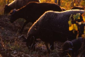 pecore_greggie nella vigna2_1024x686