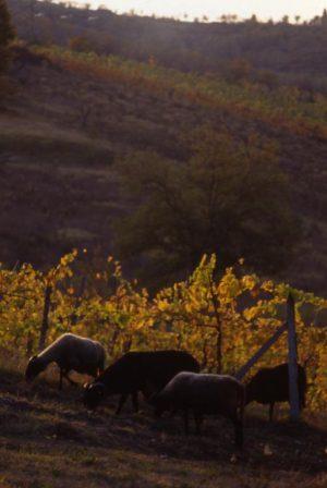 pecore_greggie nella vigna3_514x768