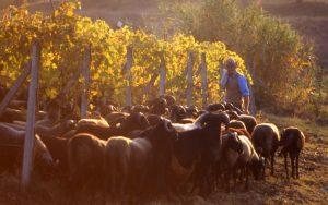 pecore_greggie nella vigna_1024x642