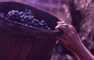 vendemmia_particolare cesto uva mano_1024x655