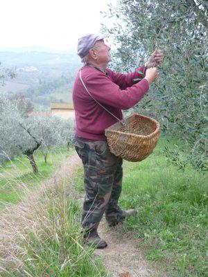 Attilio mentre bruca le olive, a mano