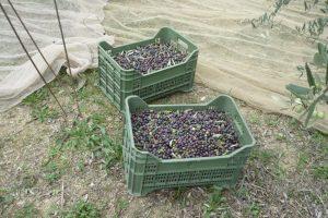 le olive sono al loro posto 1024x682